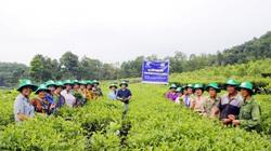 Bón phân Lâm Thao: Chè xanh tốt, năng suất cao