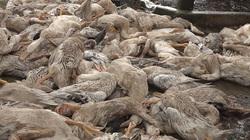Đồng Tháp: Vụ hàng trăm con vịt té nhào chết đột ngột ở ngoài đồng, công an vào cuộc điều tra