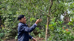 """Nghệ An: Đàn hương là loài cây gì, gỗ đàn hương quý hiếm thế nào mà """"kéo"""" giàu có về vùng đất này?"""