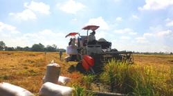 Lúa gạo trúng mùa được giá