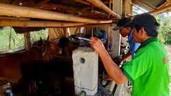 Bùng phát dịch lở mồm long móng tại Quảng Nam