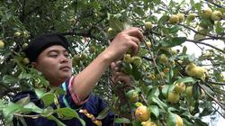 Yên Bái: Đưa cây dại táo mèo thành cây chủ lực, thu hàng chục tỷ đồng/năm