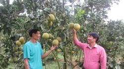 """Ngắm cây bưởi sai trĩu quả """"phát hờn"""" ở tỉnh Tuyên Quang có đồng vốn Hội """"vun trồng"""""""