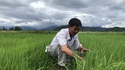 Lạ đời, một ông nông dân tỉnh Bình Thuận trồng lúa khác người xay ra thứ gạo sạch ai cũng đòi mua