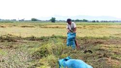 Ninh Thuận: Xót xa nhìn lúa đổ, hạt nảy mầm thành cây vì mưa lớn kéo dài