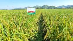 Giống lúa VNR88 trên đồng đất Bắc Giang chi chít bông, hạt chắc mẩy, nông dân phấn khởi