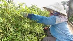 Ninh Thuận: Trồng thứ cây ra trái cay xé lưỡi, giá bán đắt, nông dân hái mỏi tay, thương lái tiết lộ điều bất ngờ