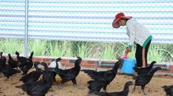 """Tây Ninh: Nuôi loài gà lạ """"đen quá trời đen"""", 2 nông dân này bất ngờ lời lớn, mỗi tháng đút túi 80 triệu"""