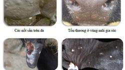 Lo ngại: Lần đầu tiên xuất hiện bệnh lạ, lây lan nhanh trên trâu, bò, bệnh viêm da nổi cục