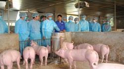 Giám sát chặt chẽ dịch tả lợn châu Phi, tái đàn an toàn
