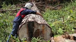 """Nhiều đơn vị vào cuộc điều tra vụ rừng thông """"khủng"""" bị cưa hạ"""