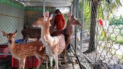 Hậu Giang: Nuôi loài thú mà tổ tiên vốn là thú hoang, mỗi năm chỉ cắt có từng này, nông dân mong giàu có