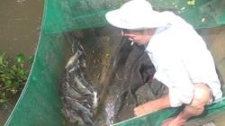 An Giang: Nước tràn đồng, nông dân đi cất vó bắt được toàn cá đặc sản, nhìn là biết ngon rồi