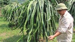 """Ông nông dân biến """"vùng đất chết"""" thành vựa thanh long lớn nhất Nghệ An, có quả nặng cả kg"""