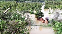 Bình Định: Nước lũ ngập sâu tứ bề, nông dân khổ sở ngâm mình mò cứu những cây mai cảnh đi sơ tán