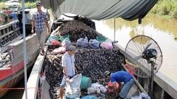 Giá khoai lang tím Vĩnh Long tăng vùn vụt, nông dân tiếc ngẩn ngơ vì không thể xuất khẩu