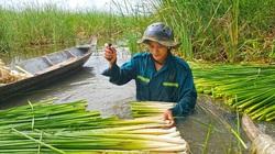 Cà Mau: Nông dân vùng này phát tài nhờ trồng loài cỏ dại làm rau đặc sản, dưới thả cá đồng dân câu mê tít