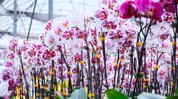 """Lâm Đồng: Một vườn lan """"siêu to khổng lồ"""" trên cao nguyên Di Linh mỗi năm doanh thu 20 tỷ đồng"""