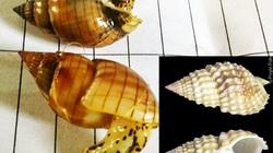 Khánh Hòa: Những loài ốc biển ăn ngộ độc và khuyến cáo phòng ngừa ngộ độc do ăn ốc biển