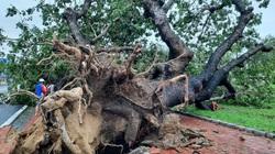"""TT-Huế: Bão số 13 quật gục """"cụ"""" cây xà cừ 13 cùng hàng loạt cây xanh, nhiều nhà dân hư hại"""