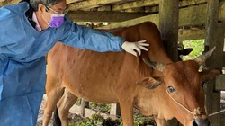 Lâm Đồng: Chủ động phòng, chống bệnh viêm da nổi cục trên trâu bò
