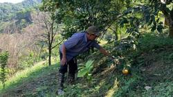 Bắc Kạn: Loài cây ra thứ hoa bán đắt như vàng, trước dân đào đổ đi không hết, nay lại chăm chút trồng lại