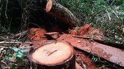 Điều tra độc quyền: Lời man trá trong các rừng nghiến khổng lồ