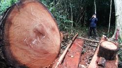 """Lời man trá trong các rừng nghiến khổng lồ: """"Ông trùm"""" nhận lỗi sau song sắt và góc nhìn của người trong cuộc"""