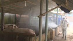 Dịch tả lợn châu Phi tái phát ở hơn 30 tỉnh: Sự lơ là nguy cơ gây hậu quả lớn
