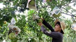 """Đồng Nai: Nhiều vườn bưởi tết thất thu vì """"ông Trời"""", dân làm bưởi tạo hình không còn trái để sản xuất"""