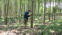 Tổng cục Lâm nghiệp: Cây tiêu, cà phê không được tính vào tỷ lệ che phủ rừng