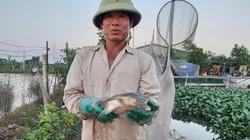 """Hà Nội: Thả loài """"thuỷ quái"""" ba ba gai cùng cá chuối hoa, ông nông dân này thắng lớn, tậu đất nuôi tiếp"""