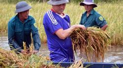 Cà Mau: Trồng lúa gần mất trắng, chính quyền tỉnh yêu cầu khẩn trương làm điều này