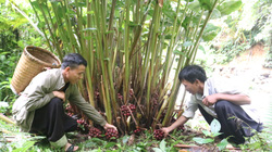 Sơn La: Người Mông ở đây làm giàu từ trồng thứ cây ra quả đỏ chi chít dưới gốc, mang về phơi thơm lừng