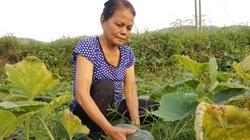 Nông dân xứ Lạng vừa tăng thu nhập vừa cải thiện dinh dưỡng nhờ trồng thứ này