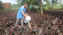 Người nuôi gà phục vụ thị trường Tết lo lắng khi giá giảm sâu