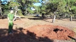 Gia Lai: Xuất hiện đường dây đào trộm rừng thông quý vì thú chơi cây cảnh