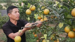 Tham gia HTX, trồng cây ăn quả VietGAP, nông dân khấm khá