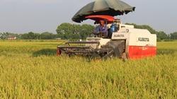 Ứng Hòa dẫn đầu diện tích lúa Japonica chất lượng cao