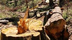 Vụ rừng bạch tùng trăm tuổi bị cưa hạ: Tổ trưởng Tổ nhận khoán bảo vệ rừng mua gỗ lậu?