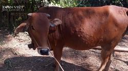 Cảnh báo: Bệnh viêm da nổi u cục trên trâu, bò đã xuất hiện tại tỉnh Thái Nguyên