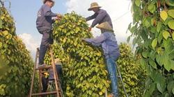"""Gia Lai: Giá tiêu tăng liên tục, nông dân """"méo mặt"""" vì vẫn chưa thấy lãi đâu"""
