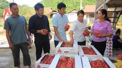 Nông dân Thuận Châu: Thu nhập cao nhờ làm trụ trên nương