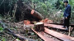 Tuyên Quang: Lãnh đạo huyện Na Hang sẽ xử lý rất nghiêm việc phá rừng nghiến