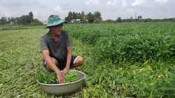 Đồng Nai: Nợ hàng tỷ đồng suýt phá sản, nhưng chỉ 5 năm trồng thứ rau rẻ tiền, ông nông dân này lại giàu lên