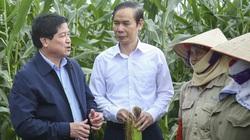 Trồng ngô gì mà cắt bán cả cây lẫn lá, nhanh thu tiền, Thứ trưởng Bộ NNPTNT tấm tắc khen?