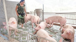 Làm thuê hoài mắc mệt, chuyển nuôi heo chuồng lạnh một nông dân tỉnh Đồng Tháp thành tỷ phú