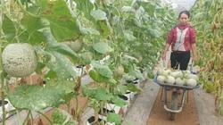 Thái Bình: Đam mê trồng dưa công nghệ cao, U50 bỏ túi hơn nửa tỷ đồng/năm