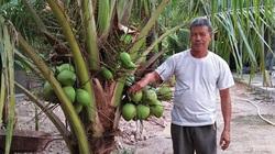 Bình Định: Trồng dừa xiêm xanh cây thấp tè đã ra trái quá trời, người đến thăm hỏi rất nhiều