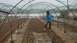 Đà Nẵng: Lũ rút đến đâu nông dân thấp thỏm trồng rau tới đó